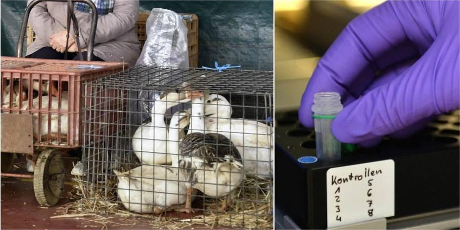 """Menace de la grippe aviaire: """"En Belgique, on s'attend à un cas d'un jour à l'autre"""" - La Libre"""