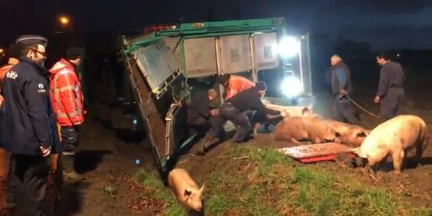 Flandre: un camion transportant 200 cochons dérape sur du verglas et termine dans un ravin - La Libre