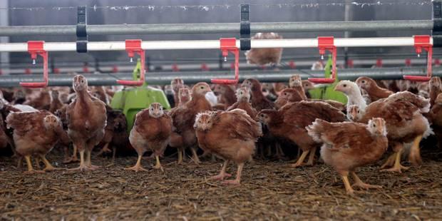 60 000 poules pondeuses à sauver de l'abattoir à Liège : avis aux amateurs - La Libre