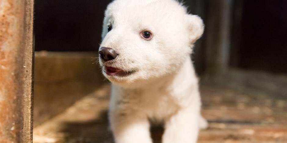 Après Knut, voici Fritz l'ourson polaire qui fait fondre Berlin