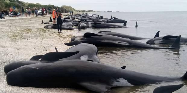 Nouvelle-Zélande : après s'être échouées, les 700 baleines risquent maintenant... d'exploser - La Libre