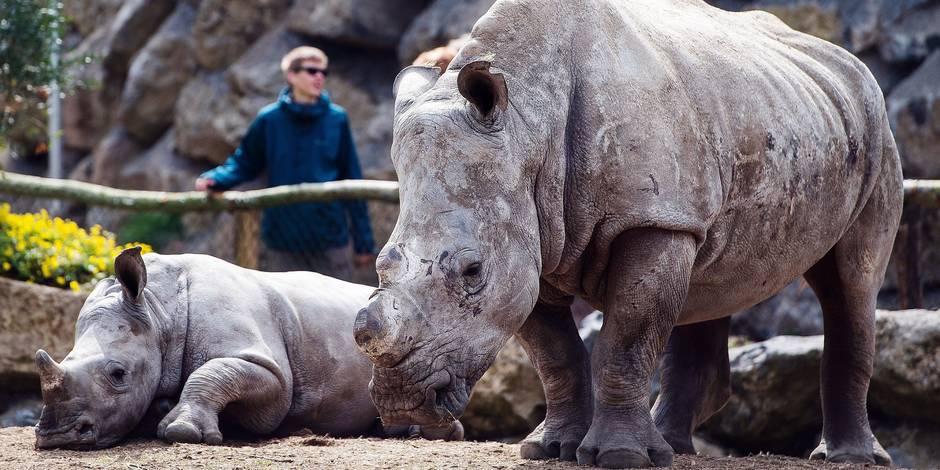 Le trafic de cornes de rhinocéros s'intensifie (Infographie) - La Libre