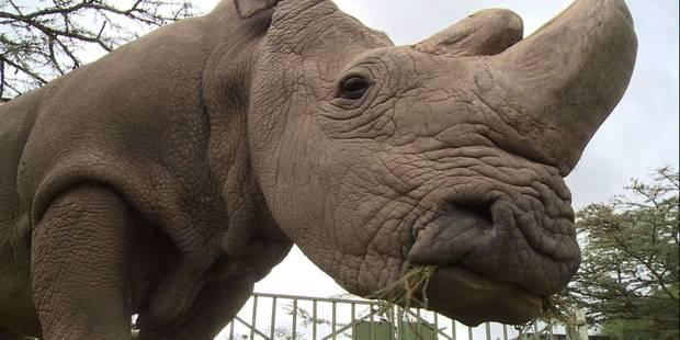 La fécondation in-vitro pour sauver le rhinocéros blanc du Nord? - La Libre