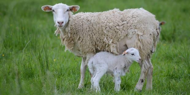 Comment des moutons roumains rendent chèvres les militaires américains - La Libre