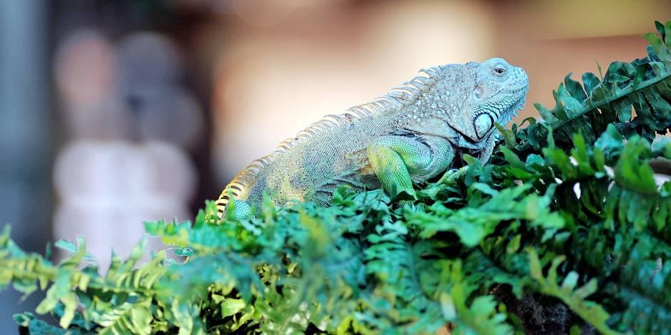 Exposition de reptiles à la galerie Belle-Ile