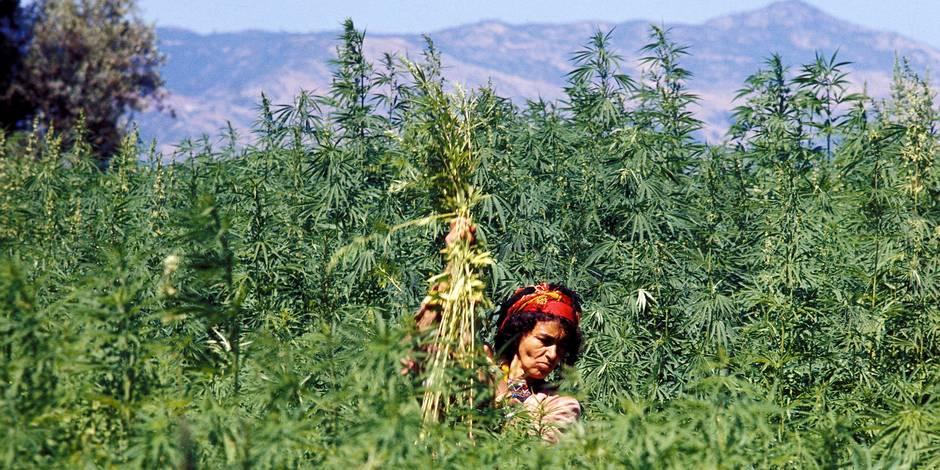 3274 MOROCCO Cannabis farmer removing male plants from a kif plantation, Ketama, Rif Mountains. CDREF00312 Reporters / Lineair